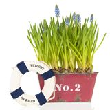 Muscari botryoides in red pot with life buoy stock photography