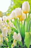 Muscari botryoides and tulips Stock Photography