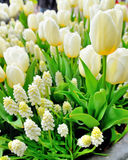 Muscari botryoides and tulips Royalty Free Stock Photo