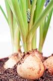 Muscari bulb detail royalty free stock photo