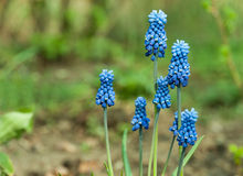 Muscari close up Stock Photos