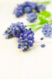 Muscari close-up Stock Images