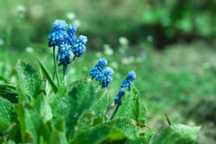Muscari closeup Royalty Free Stock Photography