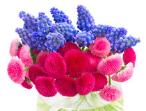 Muscari and Daisy Flowers Stock Image