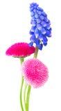 Muscari and Daisy Flowers Stock Photos