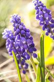 Muscari de bleu de fleur Images stock