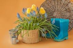 Muscari de floraison et bottes bleues en caoutchouc sur un fond de moutarde image libre de droits