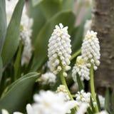 Muscari de la primavera en el jardín botánico en primavera Foto de archivo