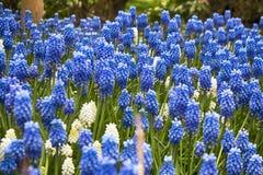 Muscari de la primavera en el jardín botánico en primavera Imagen de archivo libre de regalías