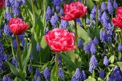 Muscari del jacinto de uva del fondo y florecimiento rosado de los tulipanes Macro del prado azul de la flor del Muscari Imagenes de archivo