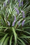 Muscari del Liriope in fioritura fotografia stock