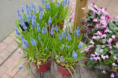 Muscari-delicate purple flowers. Muscari-delicate spring purple flowers in the pots stock photos