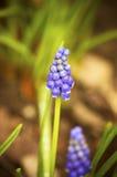 Muscari (el género es el jacinto de uva) Foto de archivo
