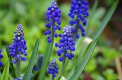 Muscari en jardín de la primavera Imagen de archivo