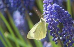 Muscari en vlinder Stock Afbeeldingen