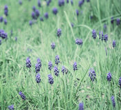 Muscari field Royalty Free Stock Photo