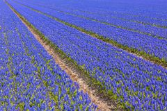 Muscari field in Holland Stock Photos