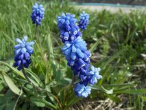 Muscari, flor azul en el fondo verde, jacinto de uva fotografía de archivo