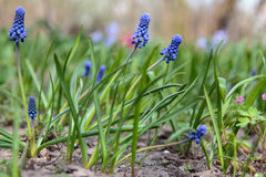 Muscari flovers obraz royalty free