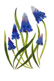 Muscari flower blossom plants watercolor illustraion on paper. Muscari blue flowers blossom plants watercolor illustraion on paper stylisation Royalty Free Stock Image
