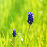 Muscari Stock Image