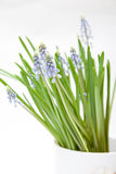 Muscari flowers Stock Image
