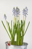 Muscari flowers Royalty Free Stock Images