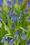 Muscari flowers Stock Images