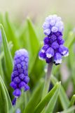 Muscari flowers Stock Photo