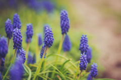 Muscari flowers Royalty Free Stock Photography