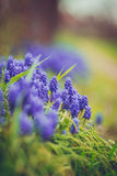 Muscari flowers Royalty Free Stock Photos