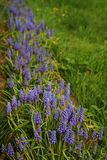 Muscari flowers Royalty Free Stock Image