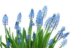 Muscari flowers Royalty Free Stock Photo