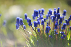 Muscari flowers. Stock Photos