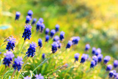 Muscari flowers at dawn, spring. Royalty Free Stock Images
