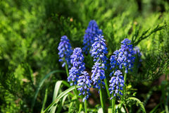 Muscari flowers. Deep blue flowers on green natural background. Stock Images