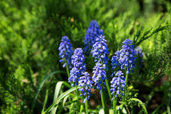 Muscari flowers. Deep blue flowers on green natural background. Royalty Free Stock Image