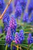 Muscari. Flowers on the evening meadow Stock Images