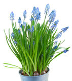 Muscari flowers Stock Photography