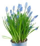 Muscari flowers Stock Photography