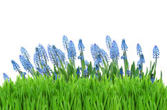 Muscari flowers with grass Stock Image