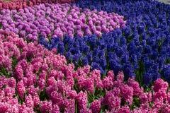 Muscari flowers in holland garden Keukenhof, Netherlands Stock Photo