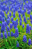 Muscari flowers meadow. Blue muscari flowers meadow in may Royalty Free Stock Images