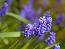 Muscari flowers, selective focus Royalty Free Stock Photos