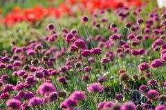 Muscari Flowers Royalty Free Stock Photo