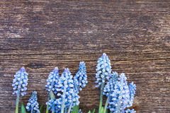 Muscari flowers on table. Muscari fresh blue flowers on  aged wooden table with copy space Stock Photo