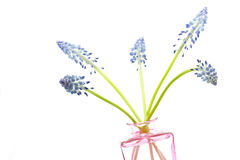 Muscari flowers on white background Royalty Free Stock Photo