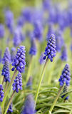 Muscari in garden. Beautiful muscari in growing garden Stock Images