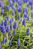 Muscari in garden royalty free stock photo
