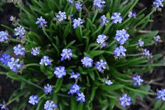 Muscari in the garden stock images